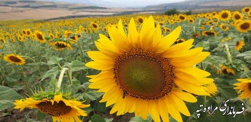 گل های آفتابگردان مراوه تپه