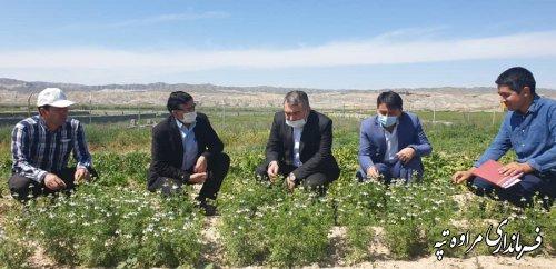 بازدید فرماندارمراوه تپه از عرصه تحقیقات کشت گیاهان دارویی مراوه تپه